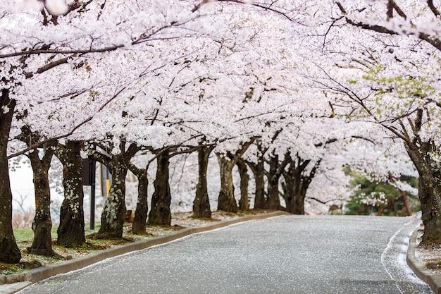 Cherry blossom path in bello giardino in primavera