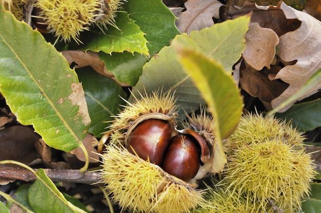 Chesnuts freschi in bug