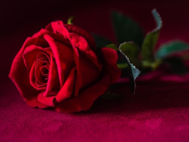 Chiave bassa del concetto-rosa rossa di giorno di biglietti di s. valentino con fondo rosa