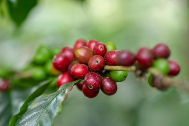 Chicchi di caffè arabi freschi che maturano sull'albero nel nord della tailandia