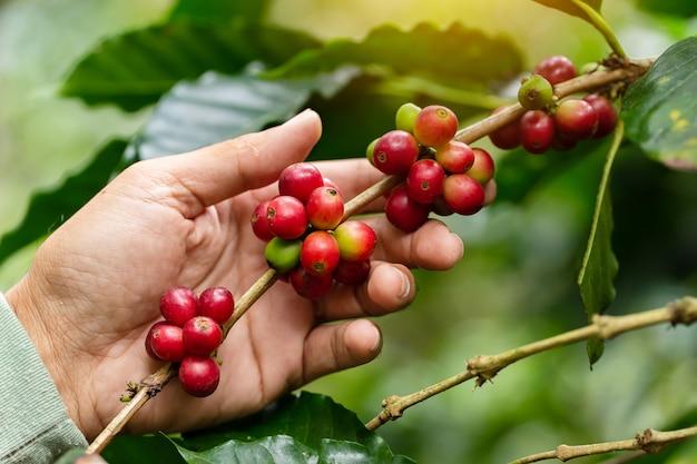 Chicchi di caffè che maturano, caffè fresco, ramo di bacche rosse