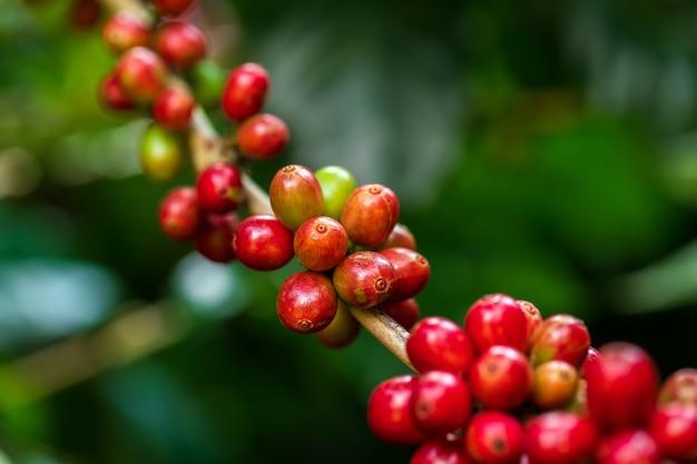 Chicchi di caffè che maturano sull'albero nel nord della tailandia