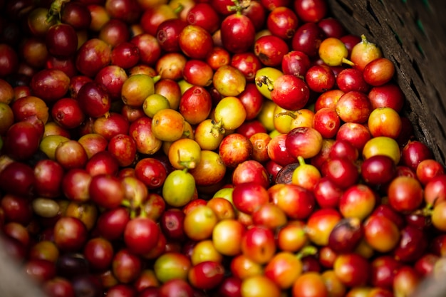 Chicchi di caffè crudi nell'agricoltore del canestro