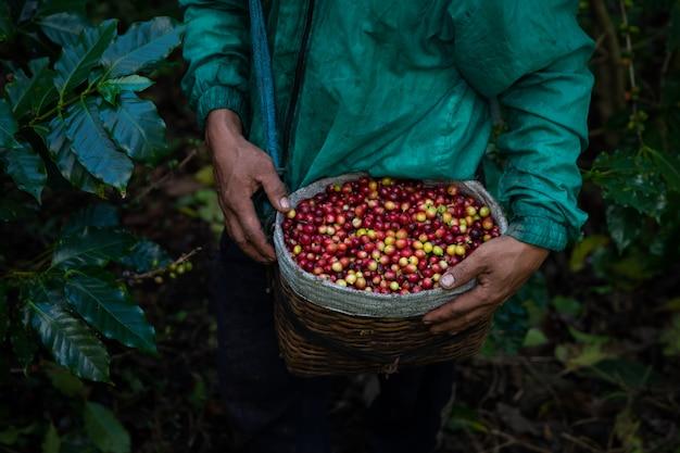 Chicchi di caffè crudo fresco dal terreno agricolo agricolo nel cesto contadino