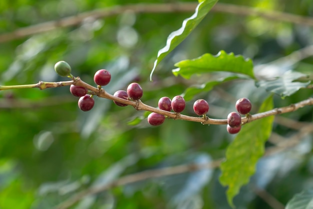 Chicchi di caffè freschi sugli alberi