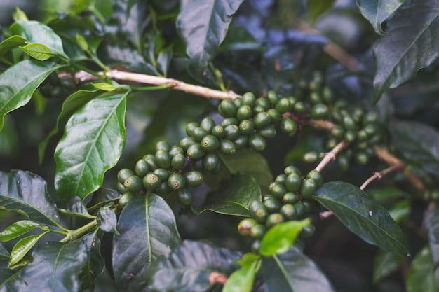 Chicchi di caffè su un albero