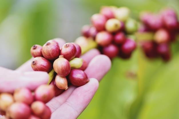 Chicco di caffè fresco sulla pianta del caffè - agricoltura delle bacche di caffè arabica sul ramo