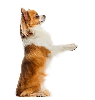 Chihuahua accattonaggio davanti a un muro bianco