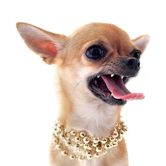 Chihuahua arrabbiato con colletto di perle