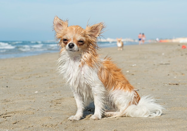 Chihuahua bagnato