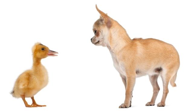 Chihuahua che gioca con un anatroccolo domestico