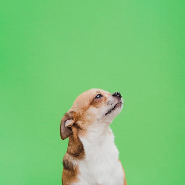 Chihuahua che osserva in su con le orecchie trattenute