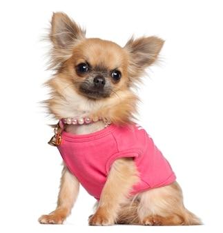 Chihuahua che si siede contro il fondo bianco