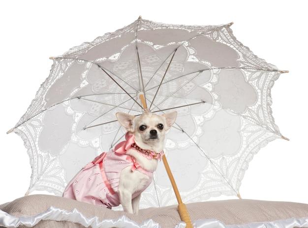 Chihuahua che si siede sotto il parasole contro il fondo bianco