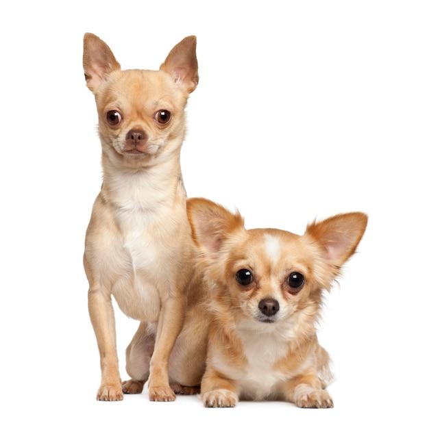 Chihuahua che si siedono contro il fondo bianco
