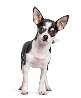 Chihuahua che sta contro il fondo bianco