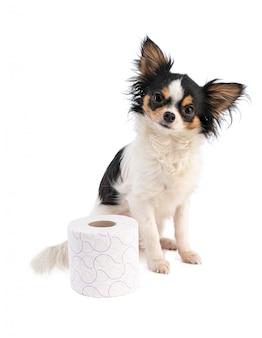 Chihuahua con carta igienica