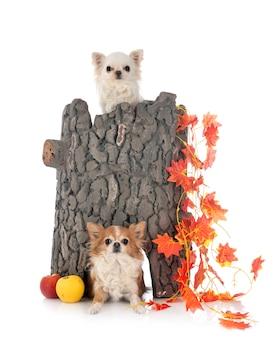Chihuahua con i giocattoli su fondo bianco
