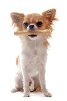 Chihuahua cucciolo e il suo osso