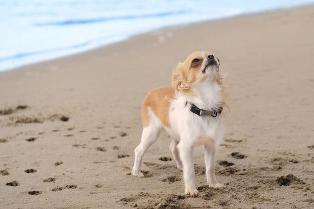 Chihuahua cucciolo sulla spiaggia
