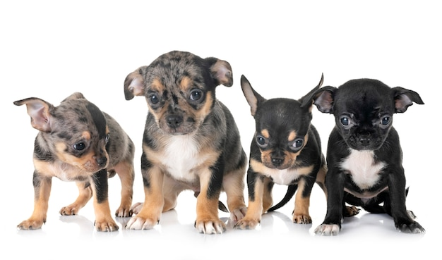 Chihuahua dei cuccioli in studio