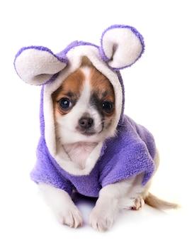 Chihuahua del cucciolo in studio