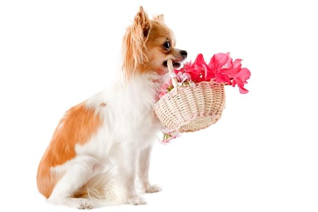Chihuahua e fiori