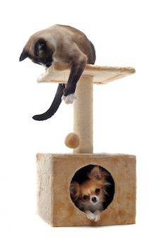 Chihuahua e gatto siamese