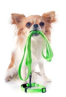 Chihuahua e guinzaglio