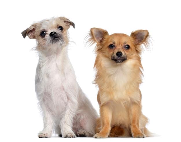 Chihuahua e incrocio, seduti uno accanto all'altro