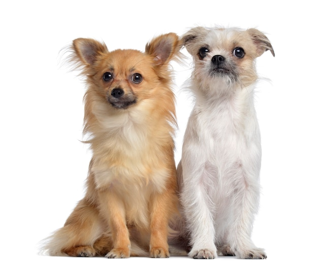 Chihuahua e incrocio, seduto