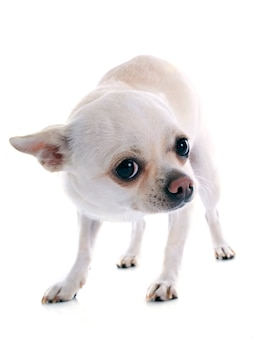Chihuahua impaurito