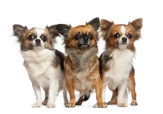 Chihuahua, in piedi su sfondo bianco