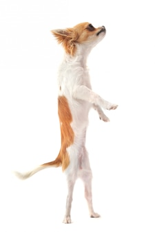 Chihuahua in posizione verticale