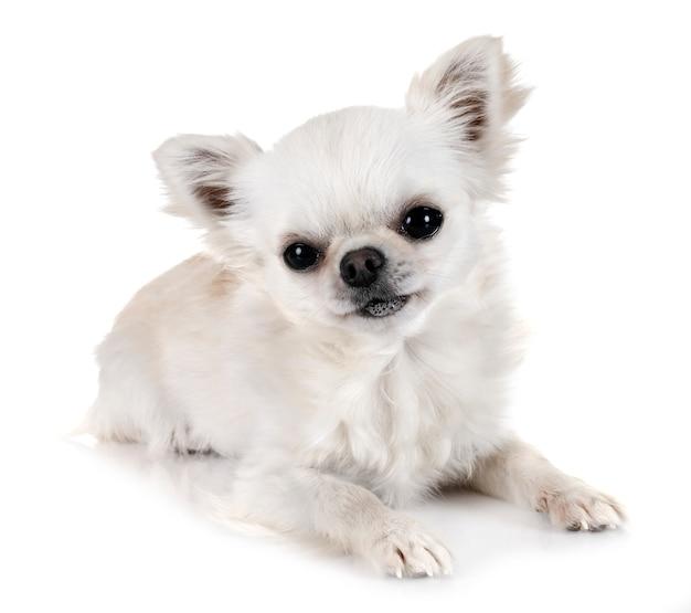 Chihuahua in studio