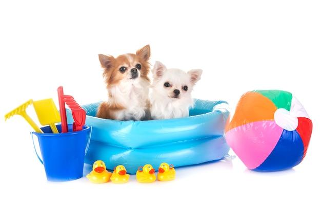 Chihuahua in vacanza
