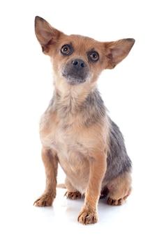 Chihuahua incrociato