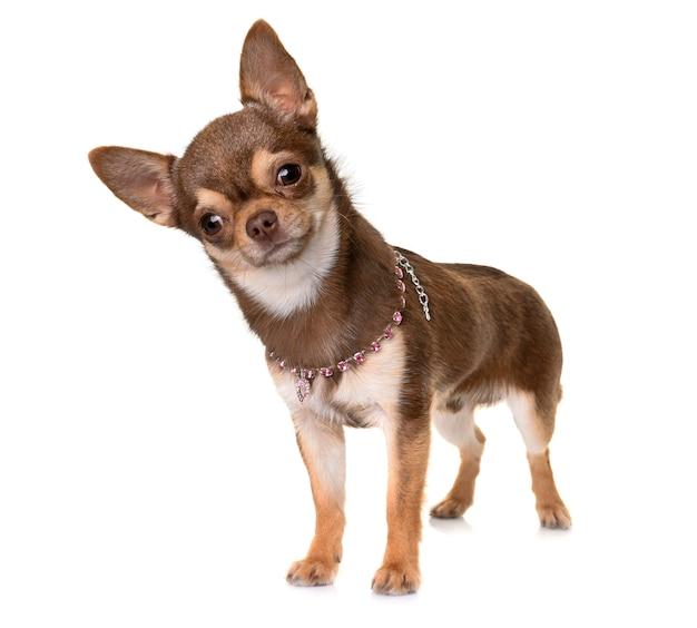 Chihuahua marrone in studio