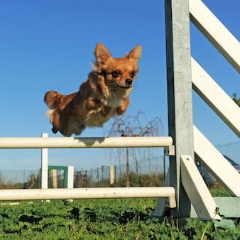 Chihuahua saltante nella competizione di agilità