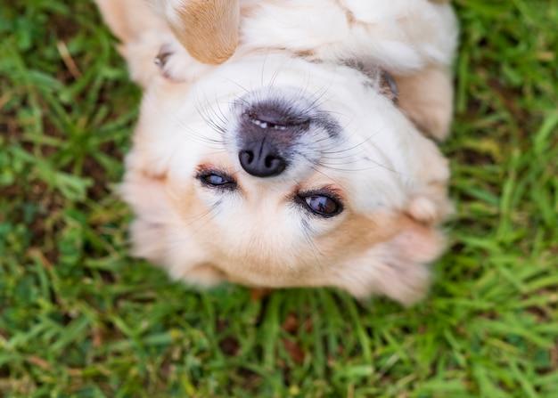 Chihuahua sdraiato sulla schiena nell'erba felice
