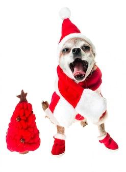 Chihuahua sorridente del cane in costume del babbo natale con l'albero di natale rosso isolato su bianco.