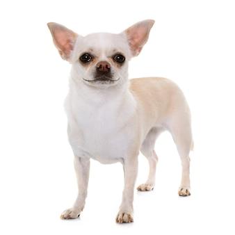 Chihuahua sorridente in studio