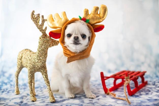 Chihuahua su bianco