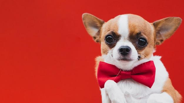 Chihuahua sveglia con il fondo rosso dello spazio della copia e del farfallino