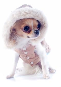 Chihuahua vestita