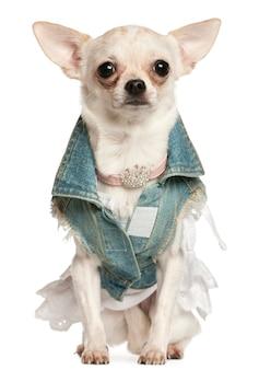 Chihuahua vestito di denim, 10 mesi, seduto