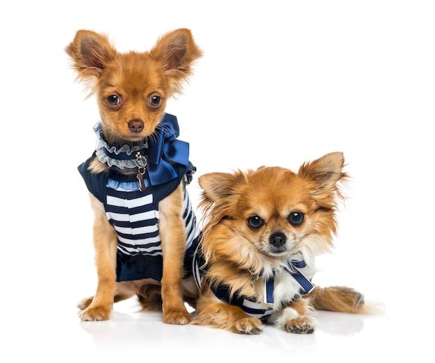 Chihuahua vestito rimorchio isolato su bianco