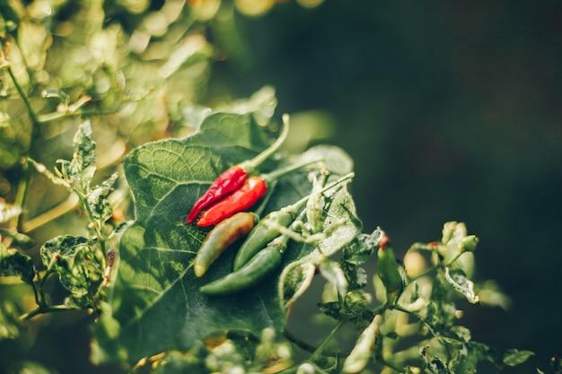 Chili con sfondo sfocato