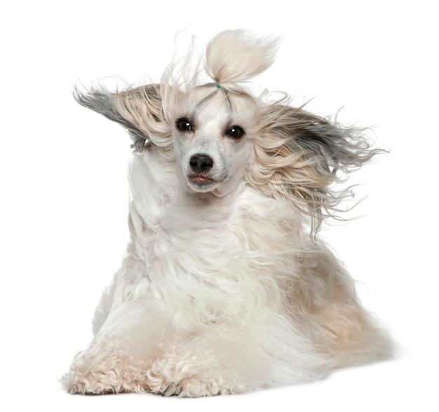 Chinese crested dog con i capelli al vento, 2 anni, davanti al muro bianco