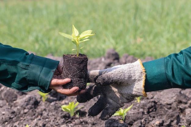 Chiuda in su con il fuoco selettivo su un semenzale della pianta
